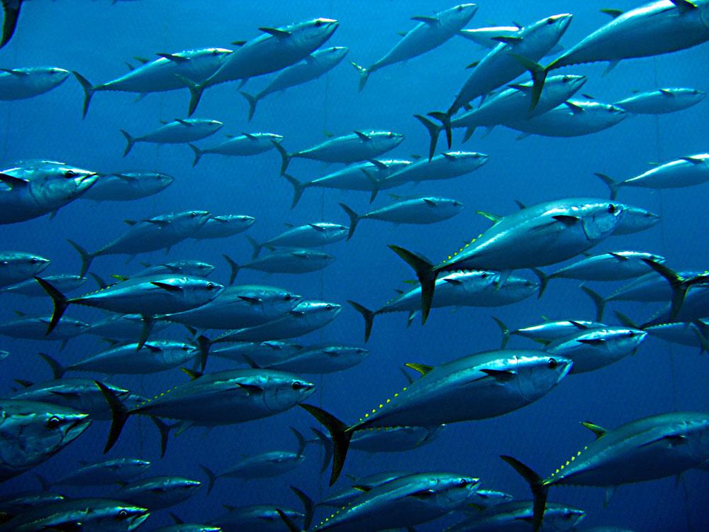 news-canadian-albacore-tuna-selenium-mercury